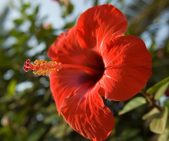 20061113124232_hibiscus%20flower[1]